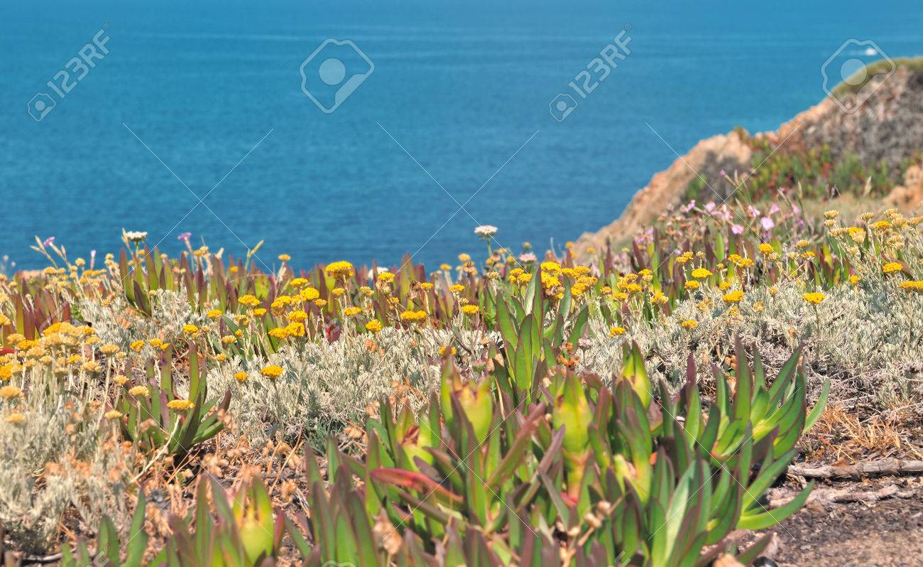 Succulent Plants With Yellow Flowers On Rocky Corsica Coast Stock