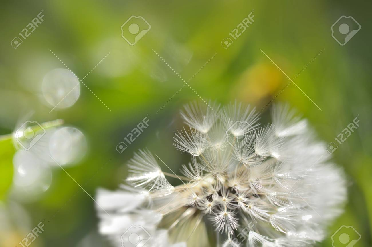abstract close on dandelion on flur green background stock photo 100635000