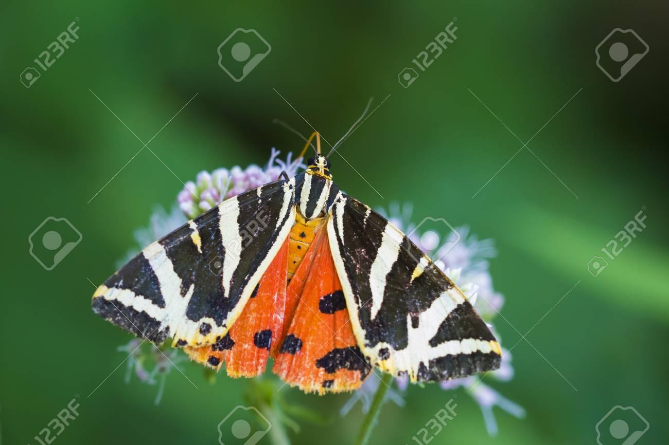 Nahaufnahme Von Einem Jersey Tiger Schmetterling Euplagia
