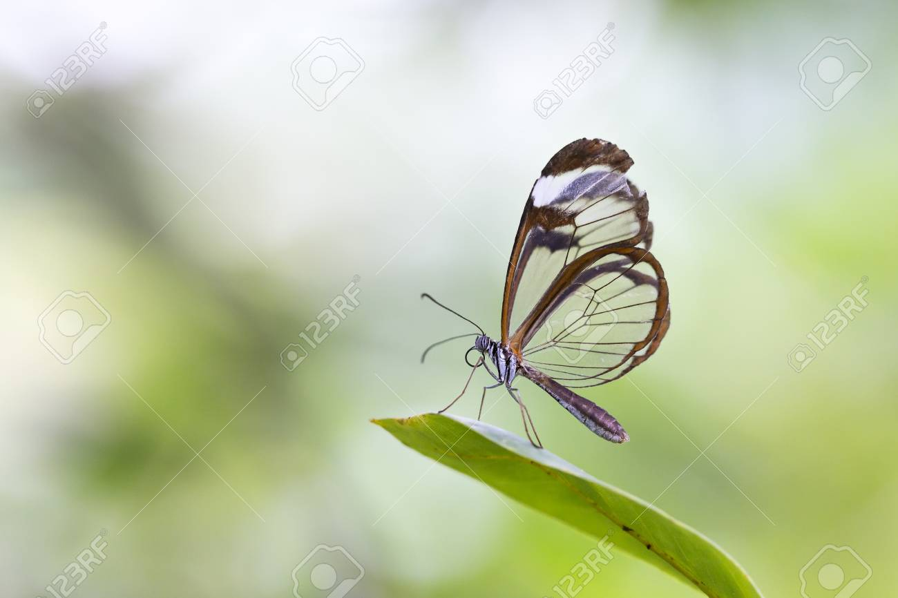 Close Up Portrait Of A Greta Oto The Glasswinged Butterfly Or