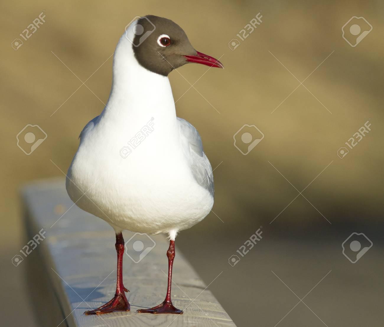 Black-headed gull Stock Photo - 13352121