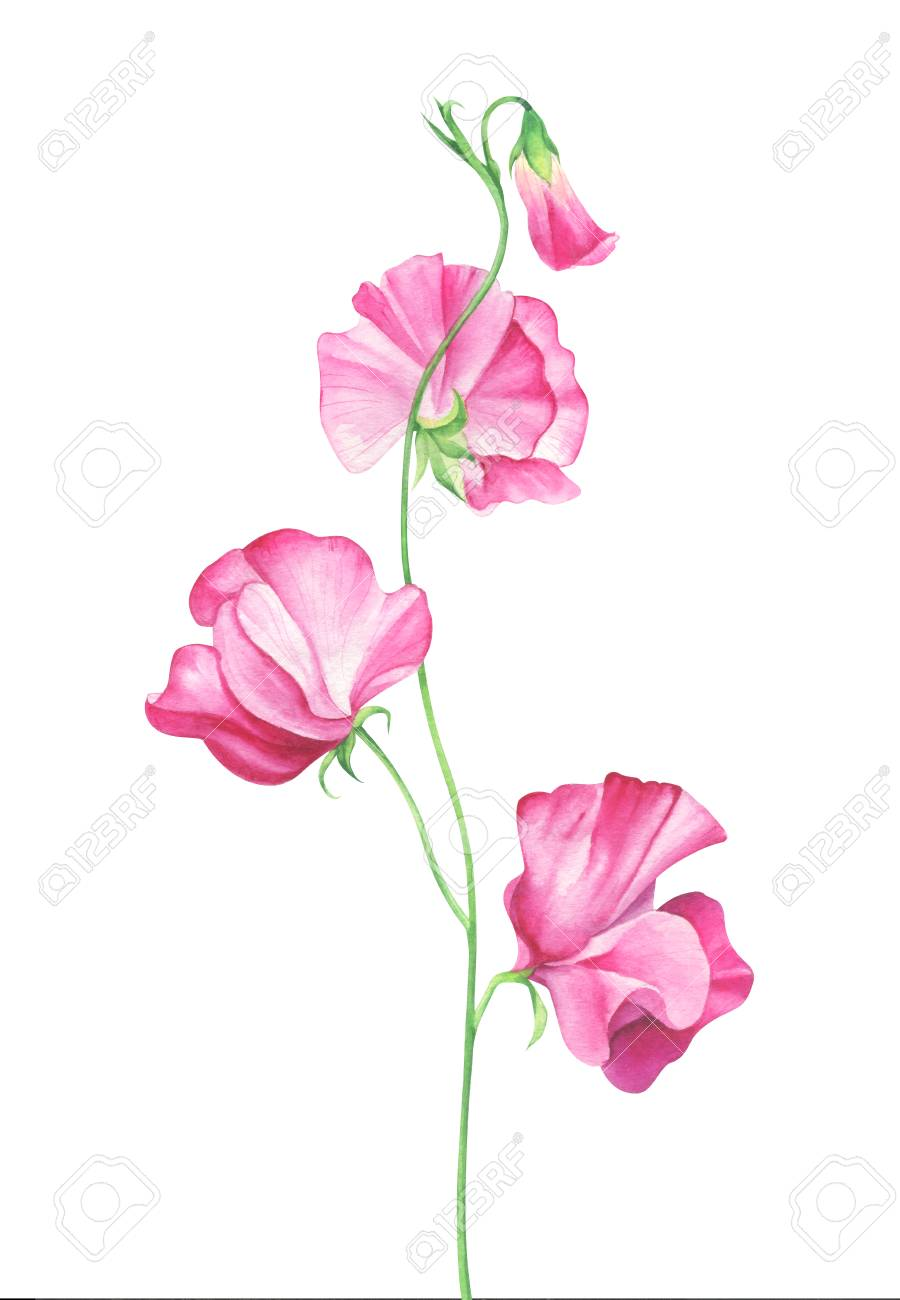 Watercolor Sweet Pea Flowers On White Background Stock Photo
