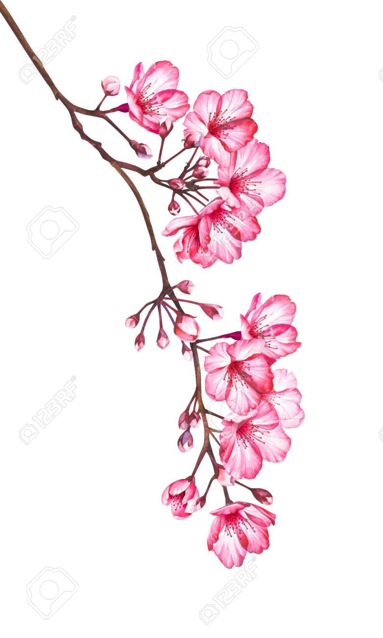 Cherry Blossom Branch Isolated On White Background Watercolor Stock Photo Picture And Royalty Free Image Image 127394525
