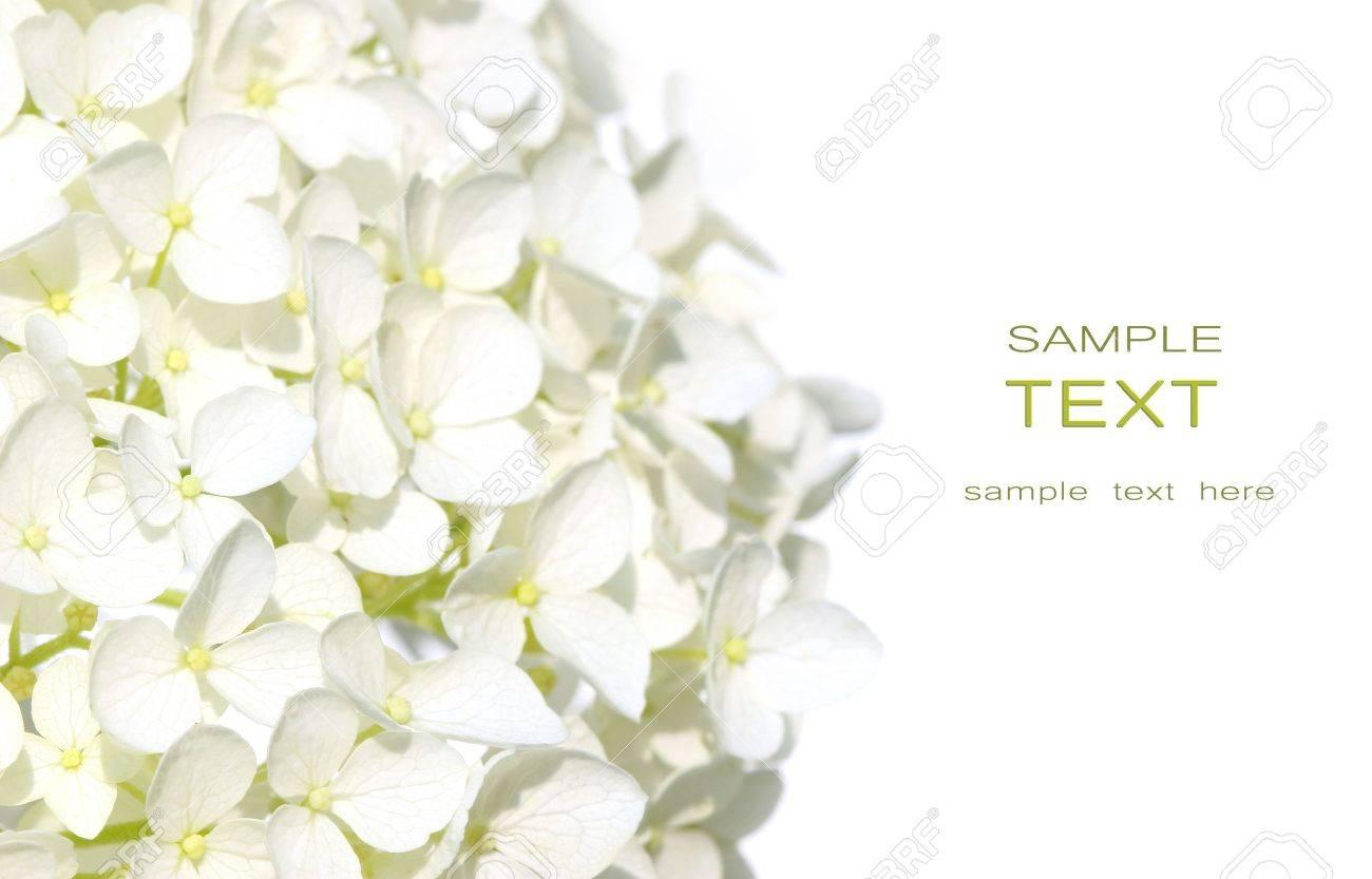stock photo white hydrangea flowers against white background - White Hydrangea