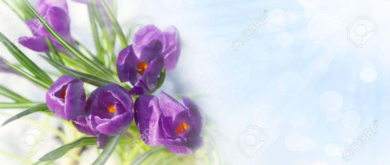 Fruhling Krokus Blumen Im Schnee Mit Copyspace Lizenzfreie Fotos