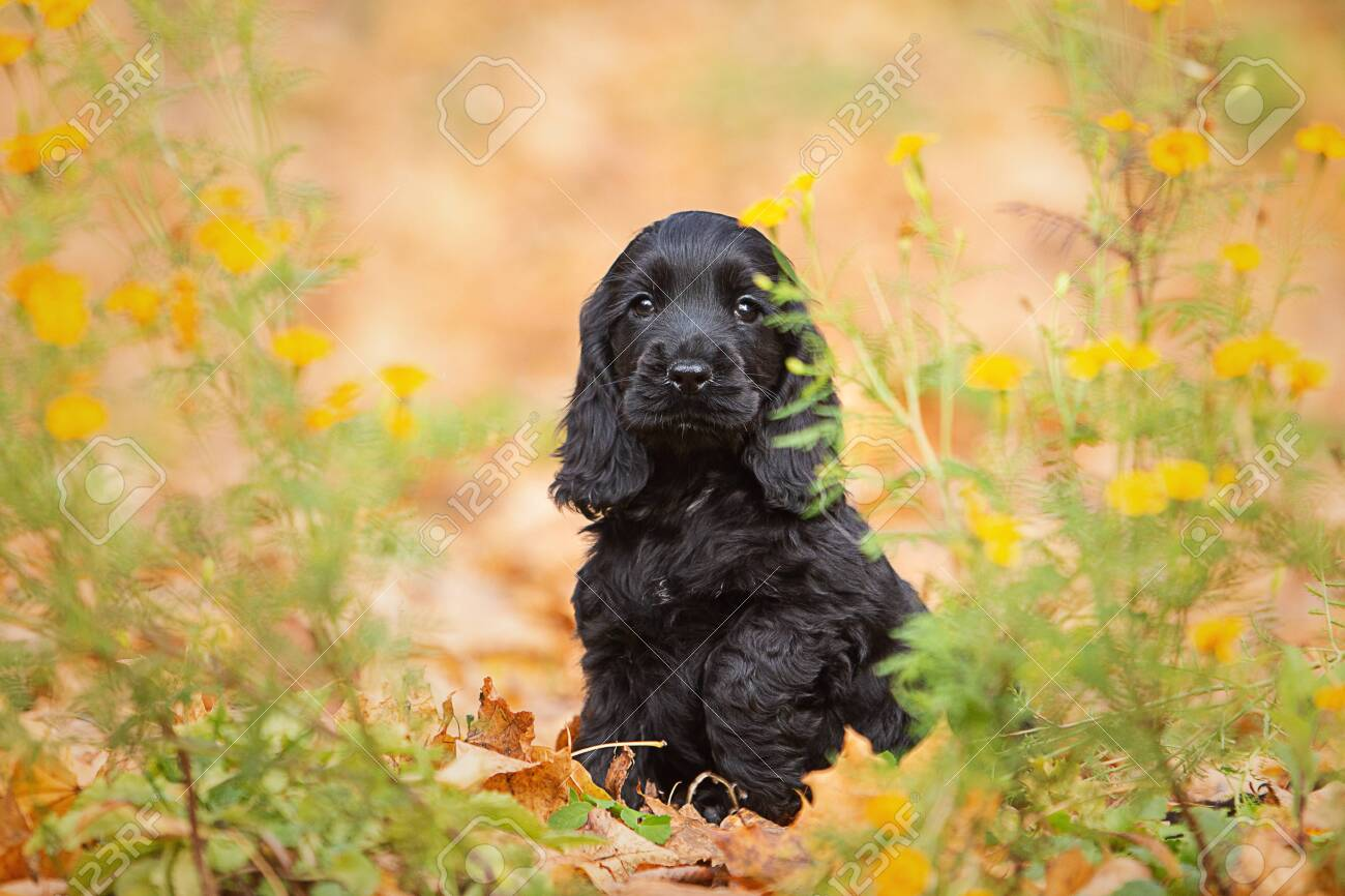 A Black English Cocker Spaniel Puppy Stock Photo Picture And Royalty Free Image Image 144943242