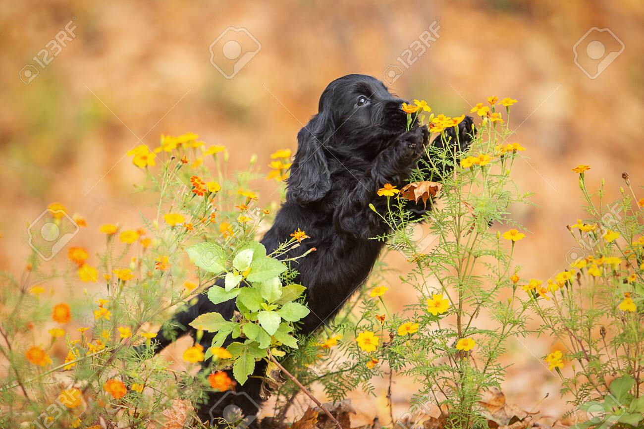 A Black English Cocker Spaniel Puppy Stock Photo Picture And Royalty Free Image Image 144943092