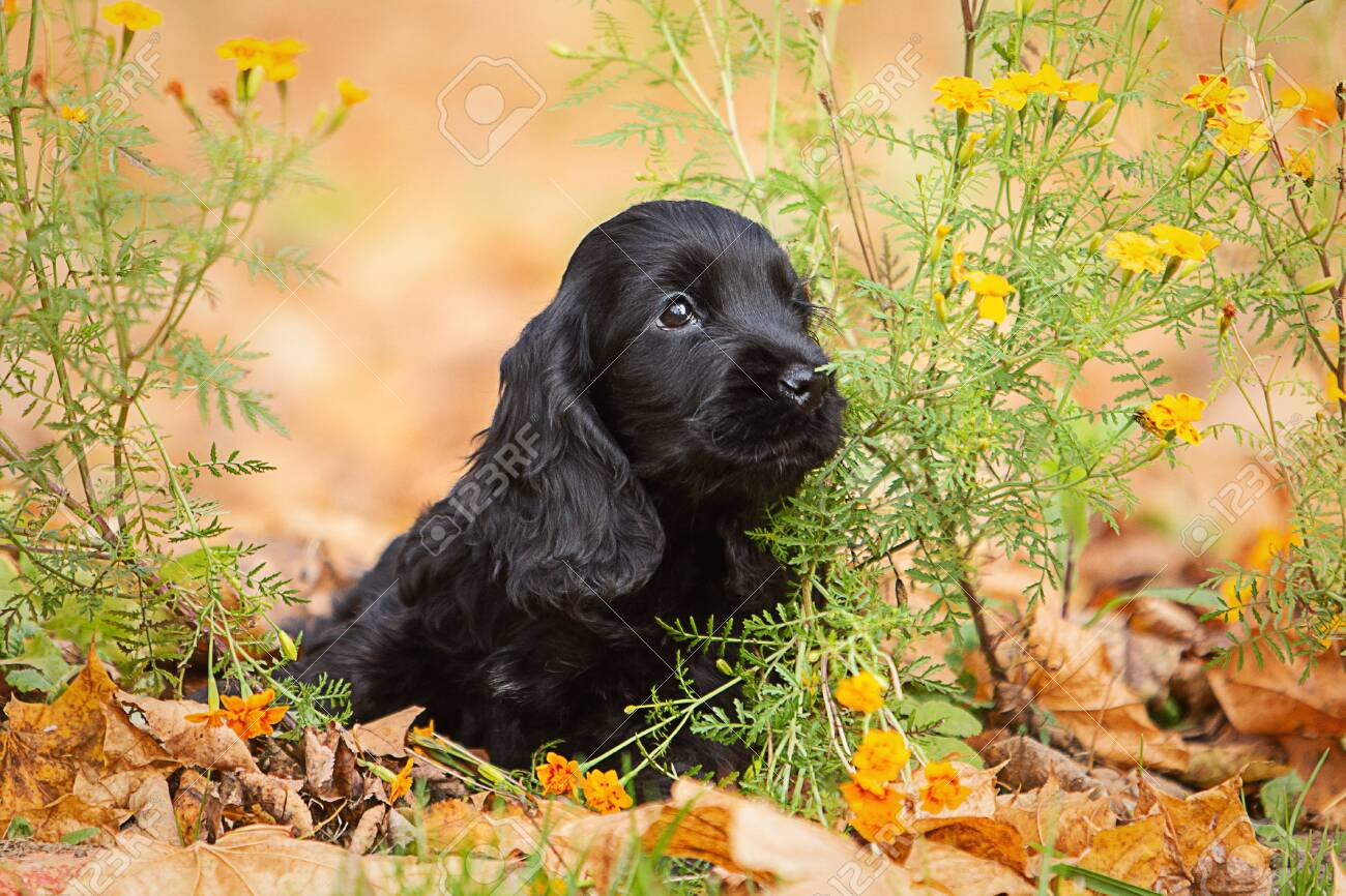 A Black English Cocker Spaniel Puppy Stock Photo Picture And Royalty Free Image Image 144943122
