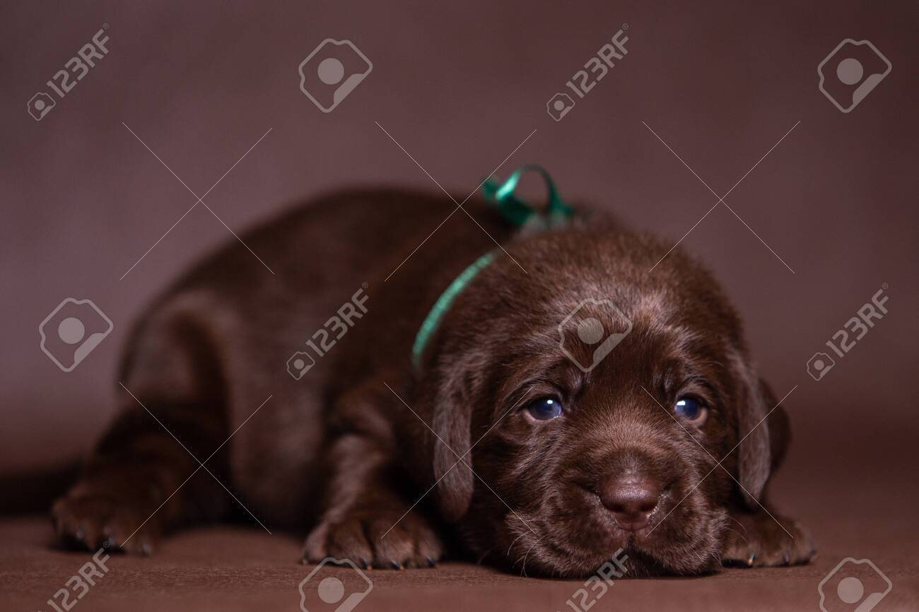 Portrait Of A Cute Chocolate Labrador Puppy Dog In The Studio Stock Photo Picture And Royalty Free Image Image 149926868