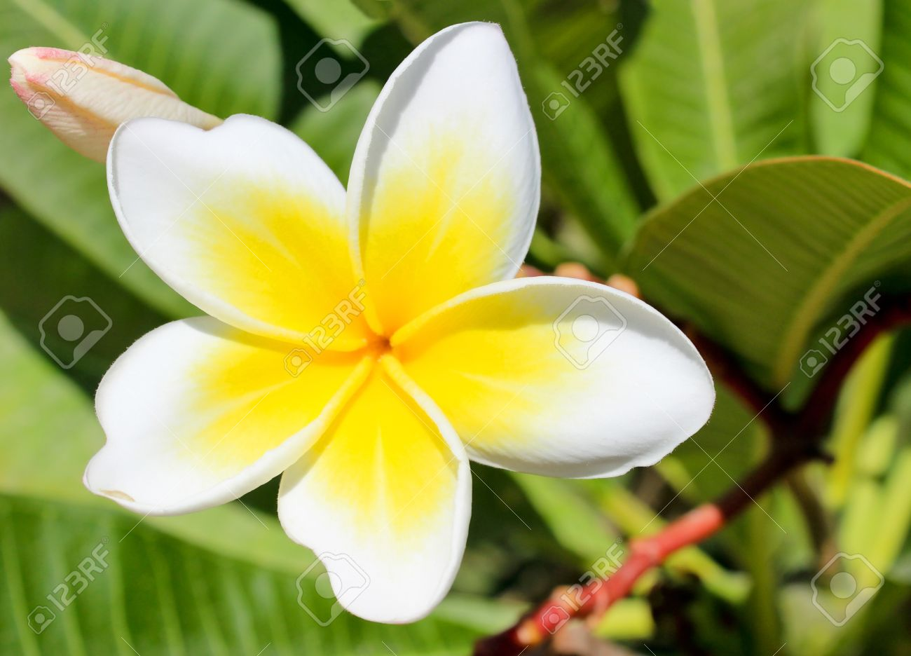Blown white and yellow flower of magnolia close up stock photo blown white and yellow flower of magnolia close up stock photo 16476542 mightylinksfo