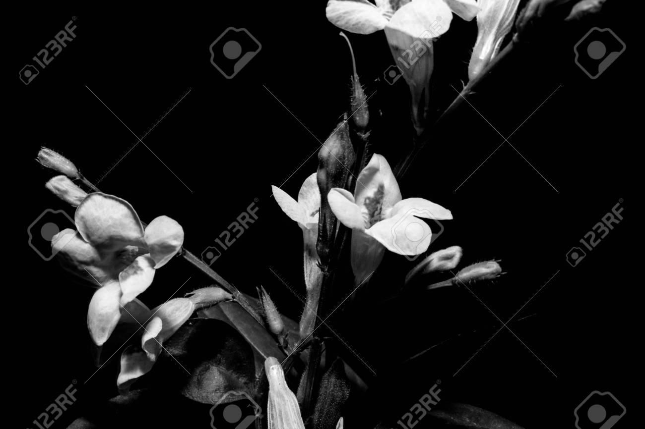 Black and white flowers on black background stock photo picture and black and white flowers on black background stock photo 47864678 mightylinksfo