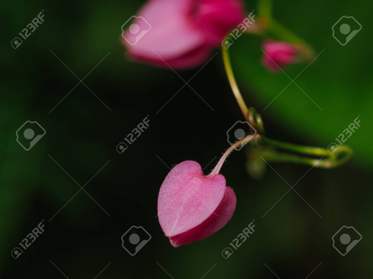 The pink heart shaped flowers in the garden stock photo picture stock photo the pink heart shaped flowers in the garden mightylinksfo