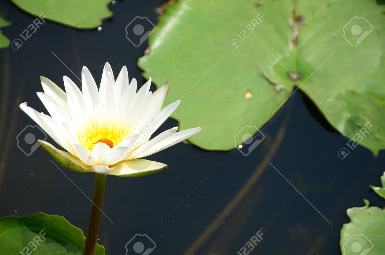 lotus fower in a pond Stock Photo - 15499678