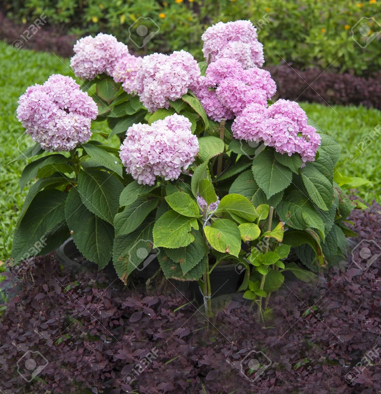 Pink Hydrangeas Hydrangea Macrophylla In A Garden Stock Photo