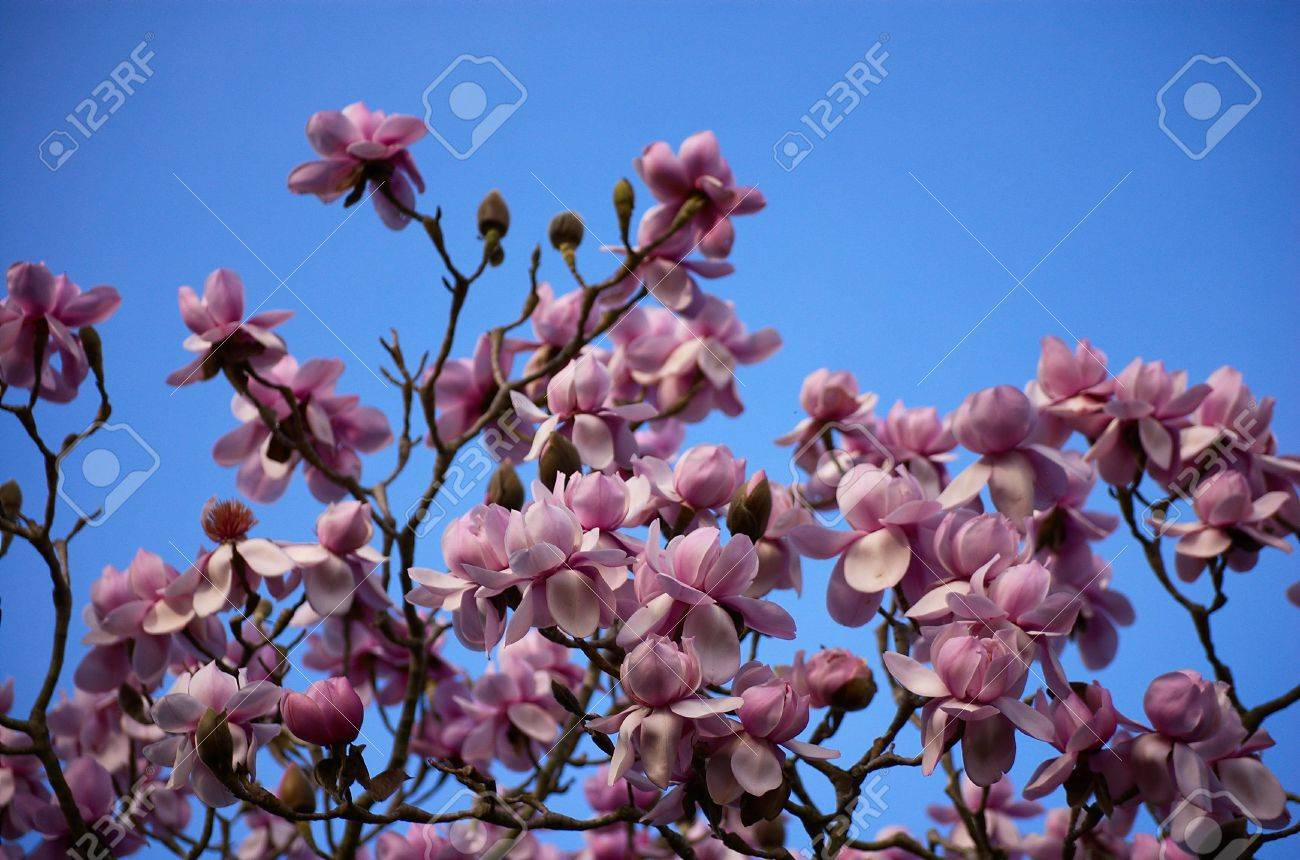 Blossoming Pink Magnolia Tree Against Clear Turquoise Sky No
