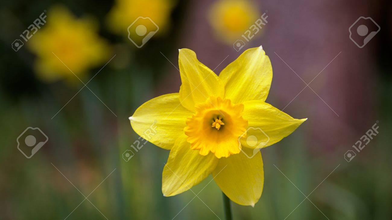 Fleur De Jonquille Jaune Jardin Botanique De Dunedin Otago
