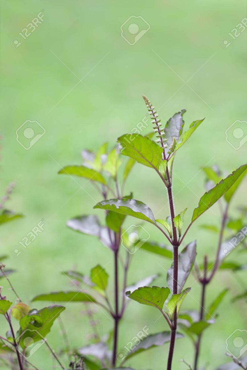 Holy basil or tulsi is an aromatic plant cultivated for religious