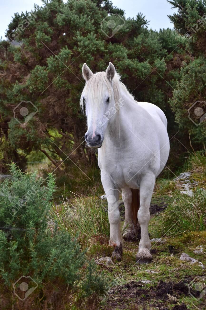Beautiful White Horse In Ireland Bushes And Other Vegetation In The Background Fotos Retratos Imagenes Y Fotografia De Archivo Libres De Derecho Image 122206567