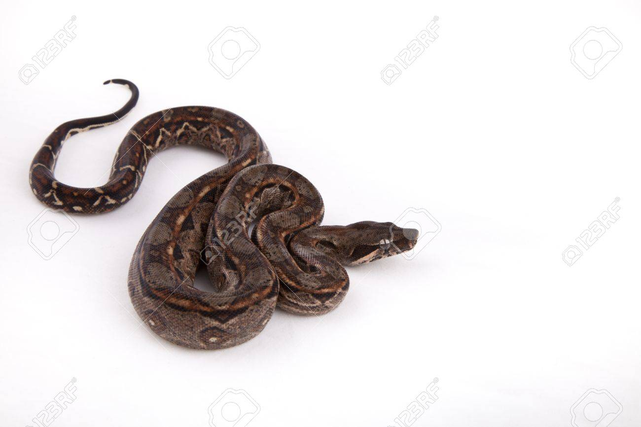 baby sonoran desert boa constrictor, on white background stock photobaby sonoran desert boa constrictor, on white background stock photo 10113028