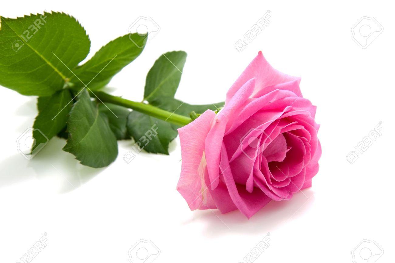 one single pink rose isolated on white background stock photo