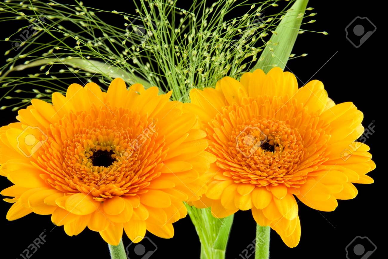 Yellow Gerber flower in closeup over black background Stock Photo - 5743593