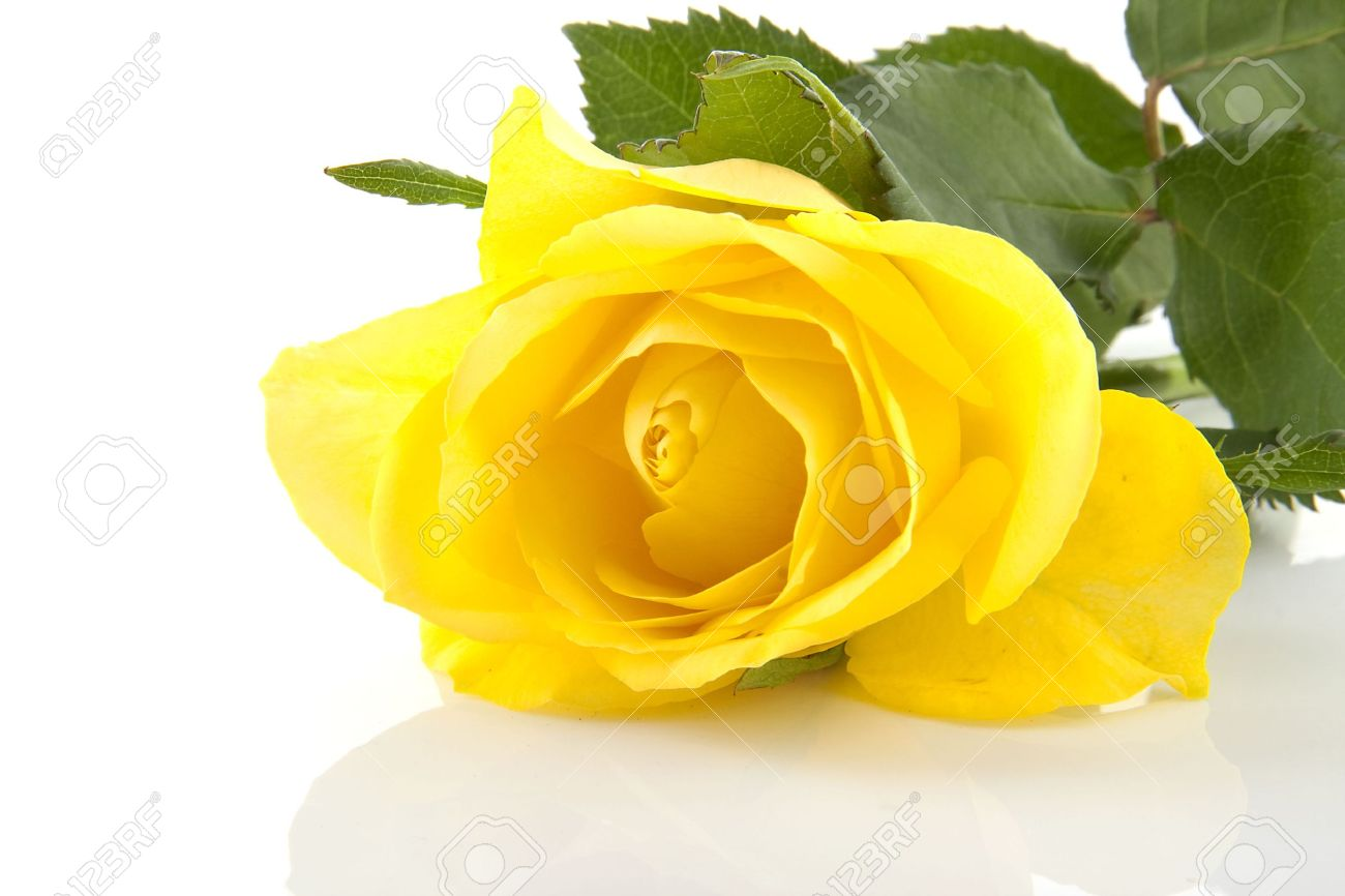 One yellow rose flower in closeup over white background stock one yellow rose flower in closeup over white background stock photo 6867160 dhlflorist Image collections