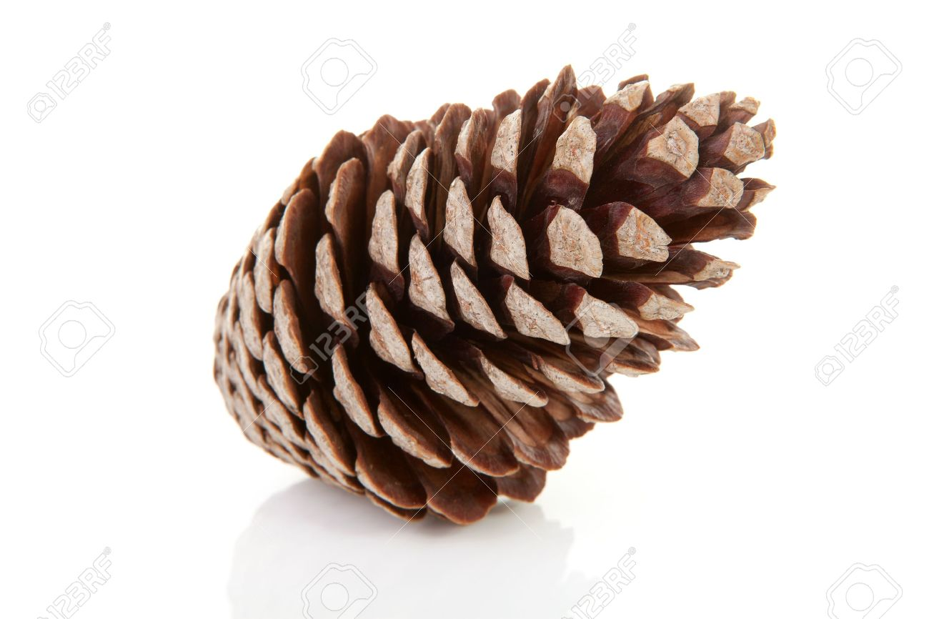 One big pine cone isolated on white background Stock Photo - 8179155