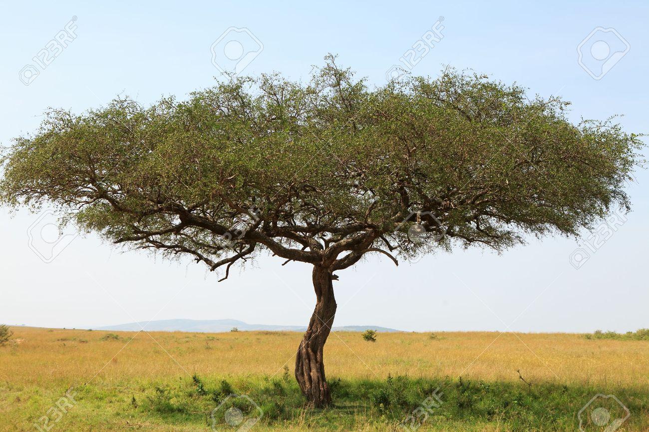 Paisaje Con El árbol De Acacia En áfrica Fotos Retratos Imágenes Y
