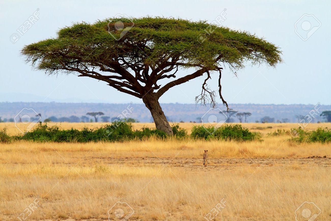 Landscape With Acacia Tree And Cheetah In Africa Stock Photo