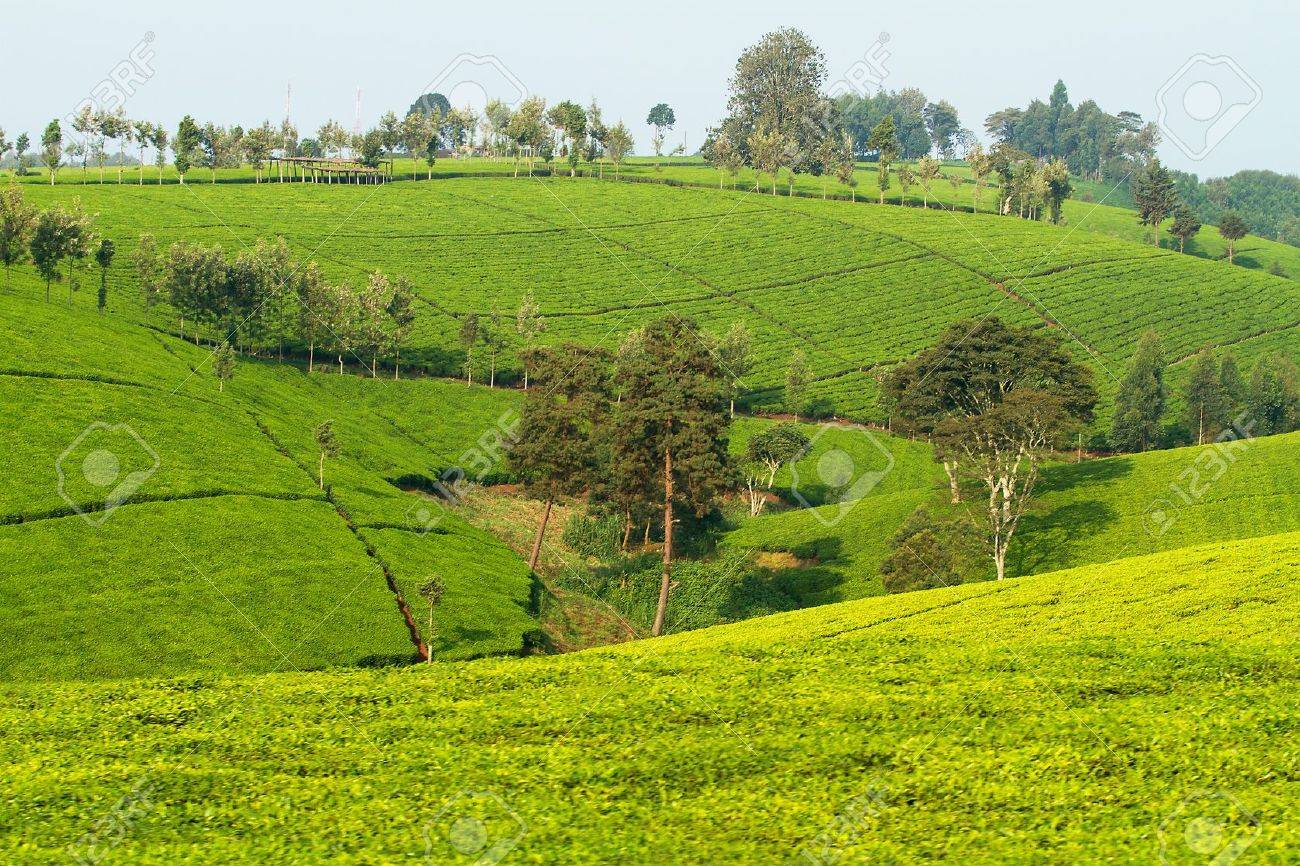 View over tea plantation in Kenya Africa Stock Photo - 13304873