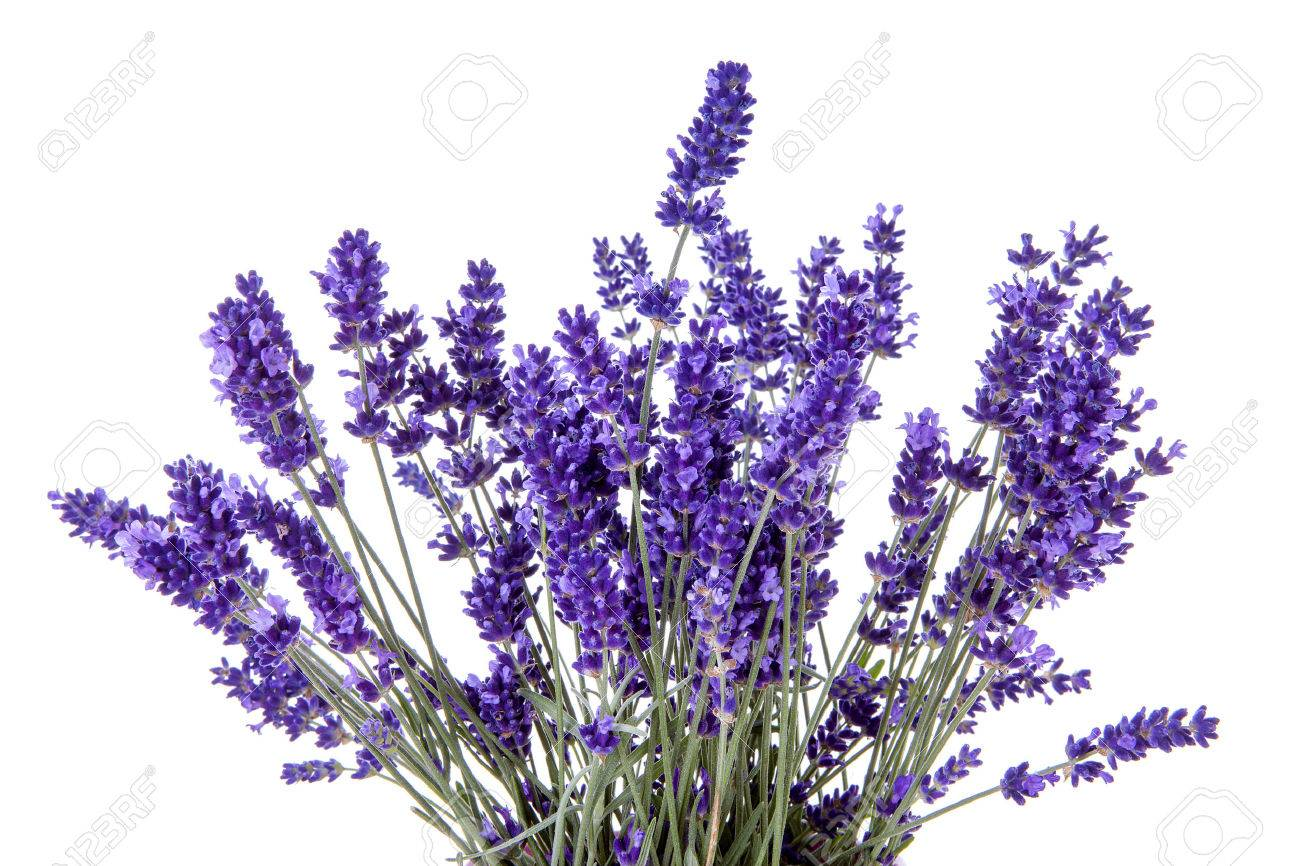 Closeup of lavender flowers over white background Stock Photo - 52413614