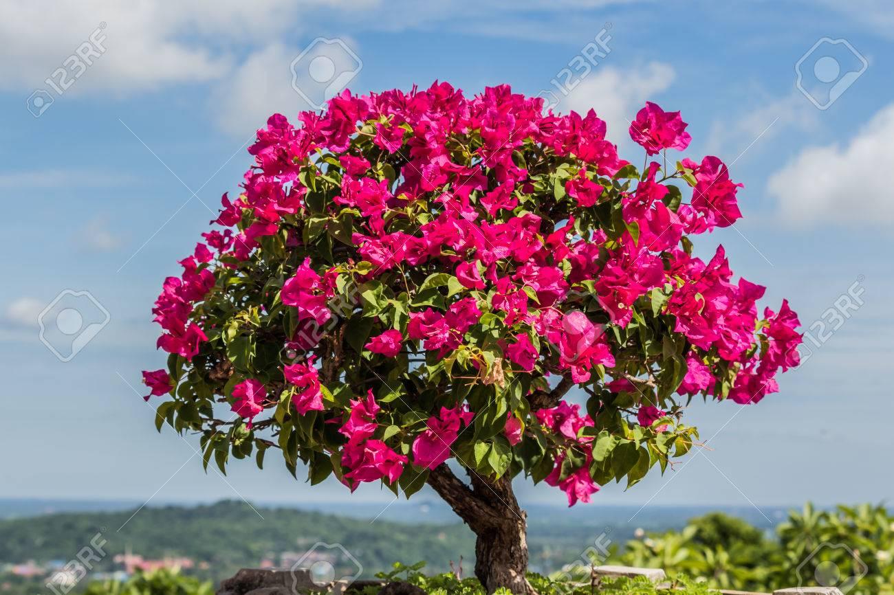 bougainvillier rose bonsaï dans le jardin banque d'images et photos