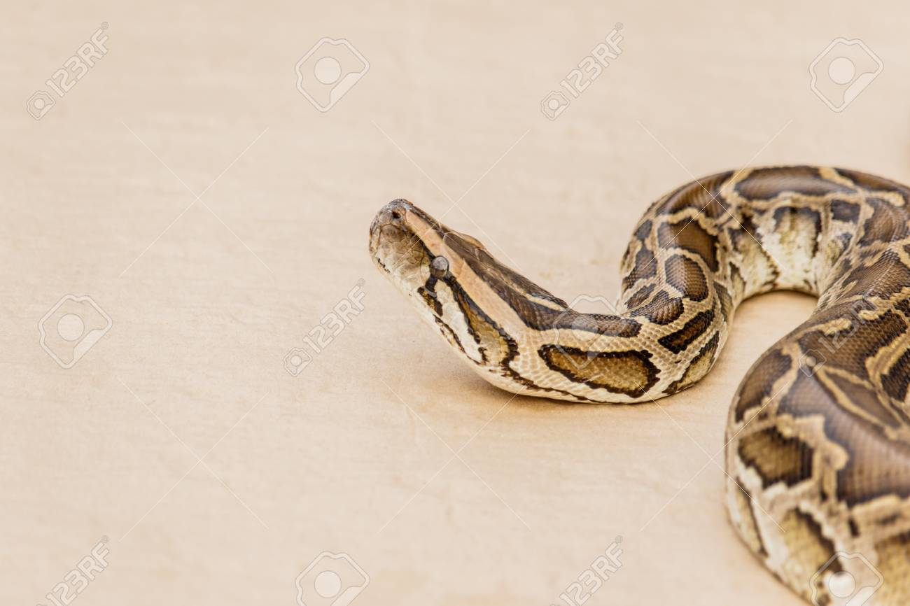Big Reticulated Python Or Boa On Floor Stock Photo   69768175