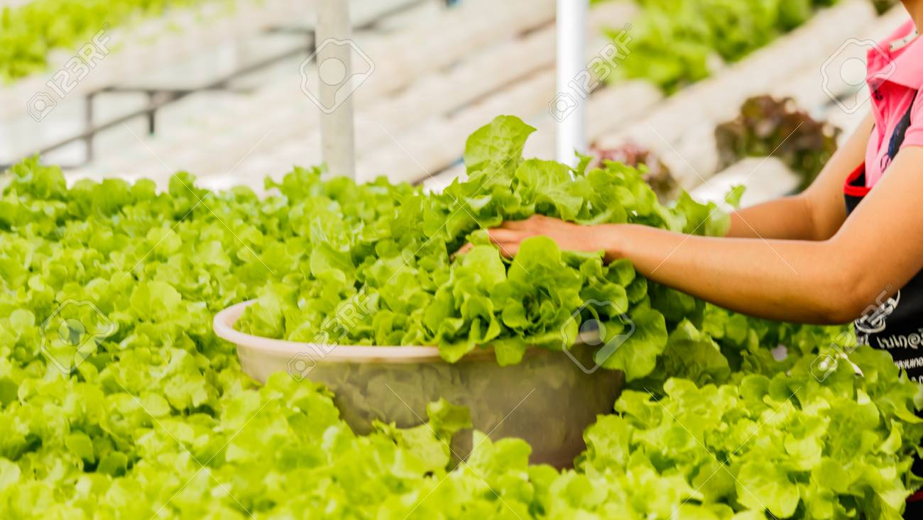 Organisches Hydroponic Gemüse Vertikaler Garten Lizenzfreie Fotos