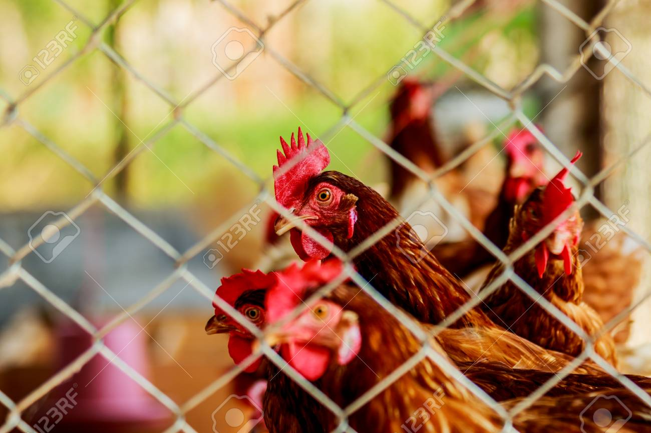 Chickens Or Hens Inside A Chicken Coop Or Hen House Seen Through Stock Photo Picture And Royalty Free Image Image 97494980