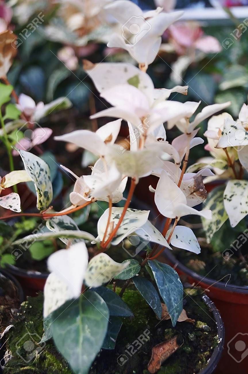 Asian Jasmine Flowers Stock Photo Picture And Royalty Free Image