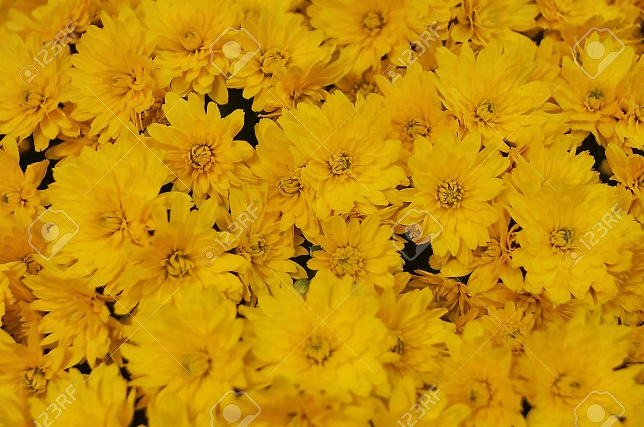 Yellow Chrysanthemums Flowers Stock Photo Picture And Royalty