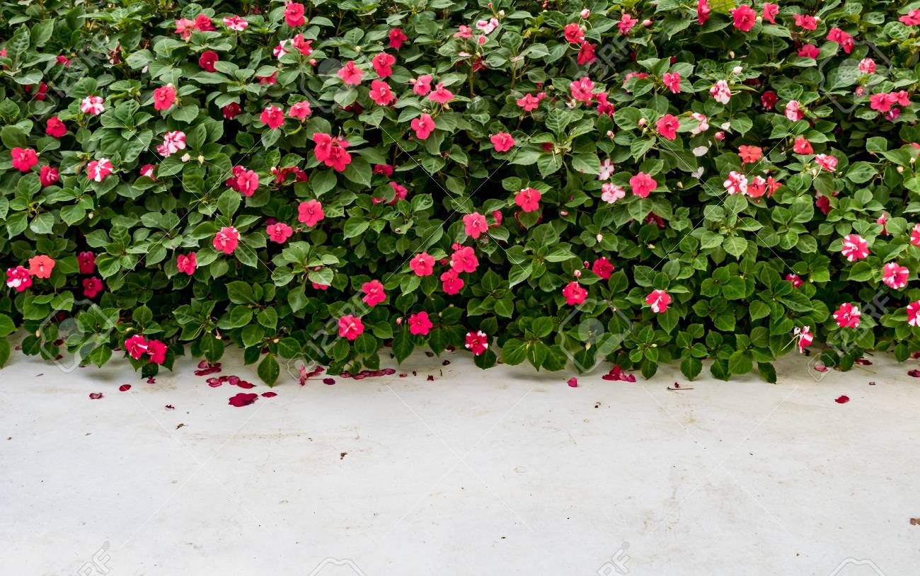Red Flowers And Green Bush Hedge Fence With White Concrete Floor ...