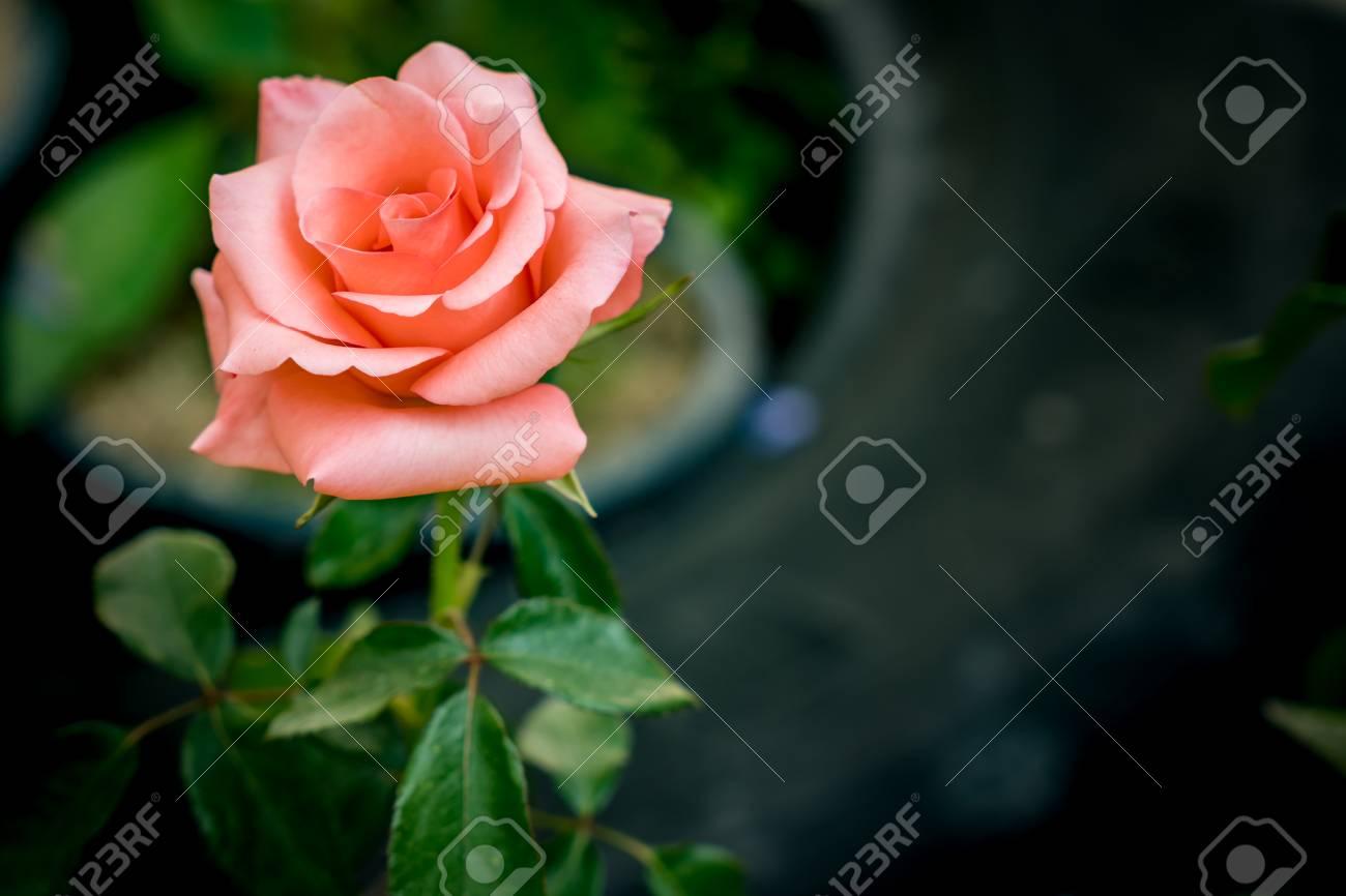 ローズ 色 オールド
