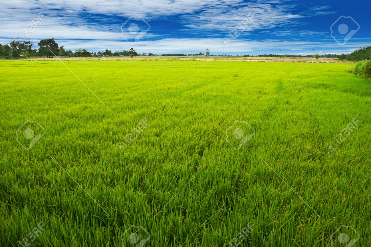 Green rice field in middle rice fied Stock Photo - 15692434