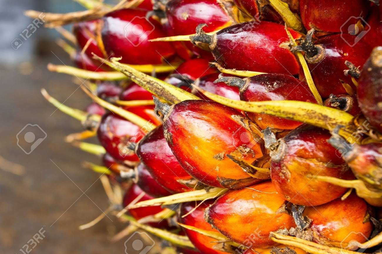 Palm fruit , tropical plant for bio diesel production Stock Photo - 15753815