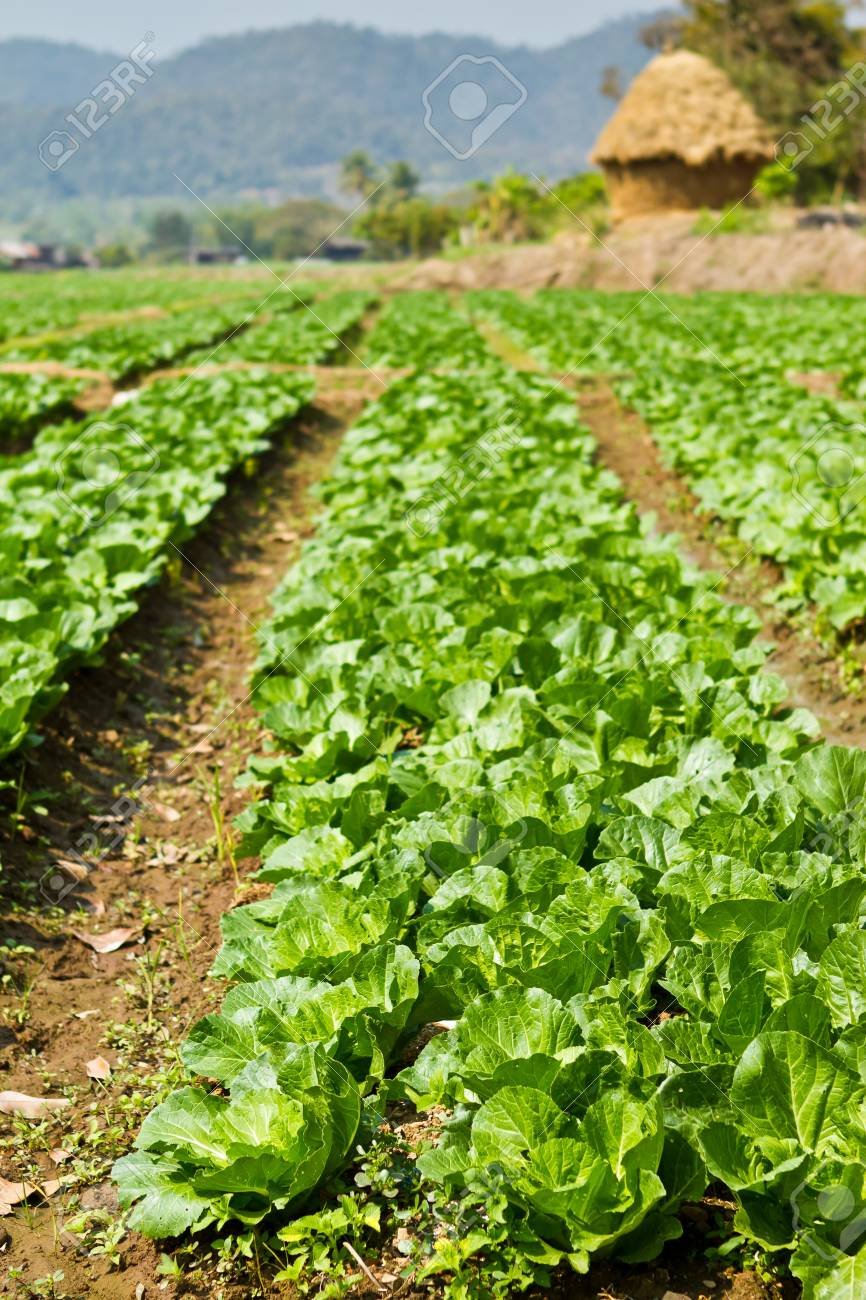 agriculture in Northern of Thailand Stock Photo - 15753878