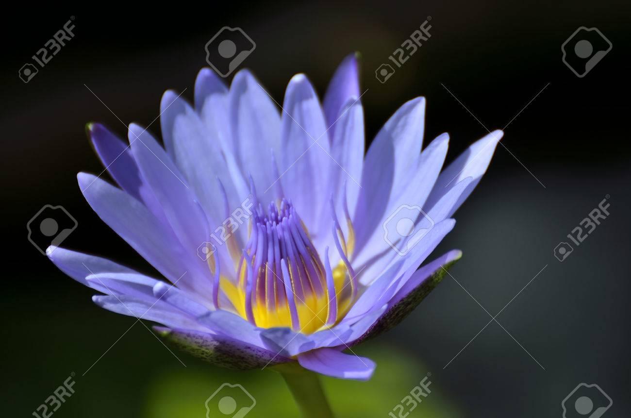 Lotus Flower Nymphaea Caerulea Selective Focus To Blue Purple