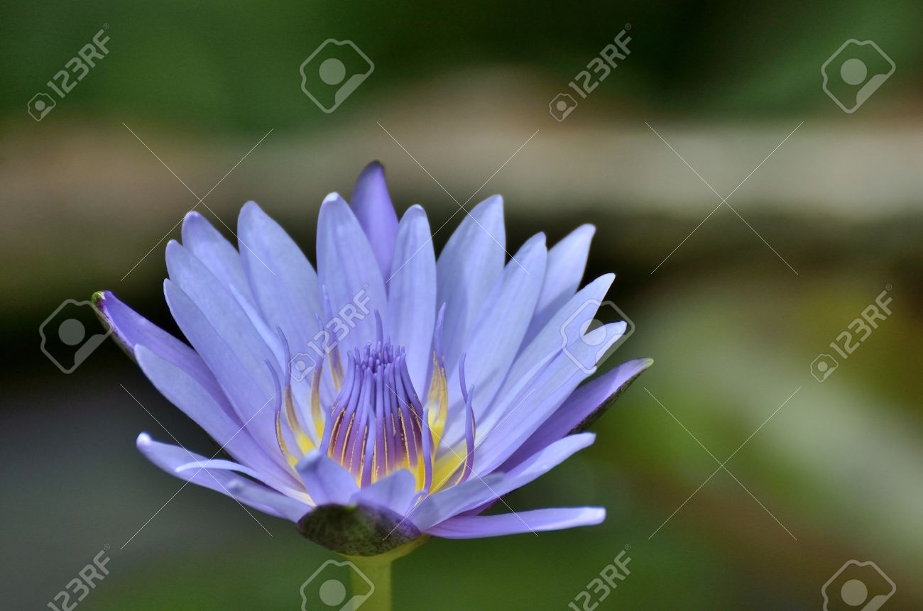 Lotus flower nymphaea caerulea selective focus to blue purple lotus flower nymphaea caerulea selective focus to blue purple lotus flower or blue egyptian lotus izmirmasajfo