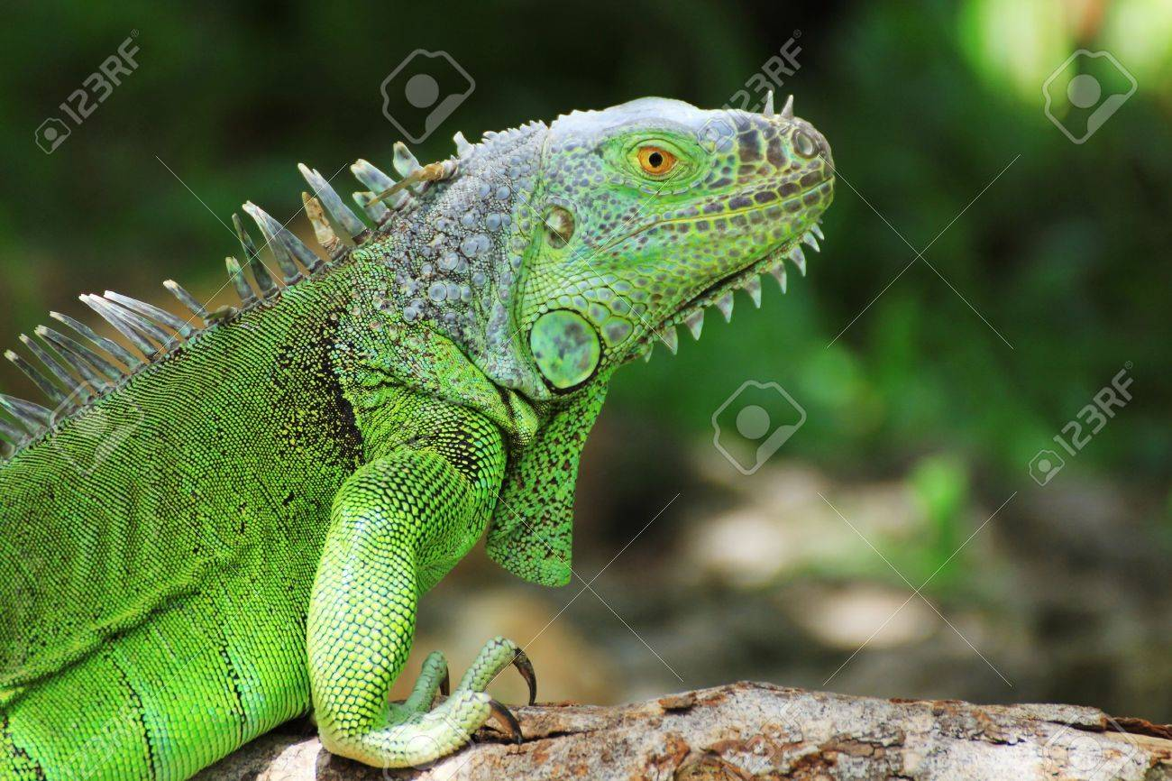 green iguana on tree branch stock photo picture and royalty free