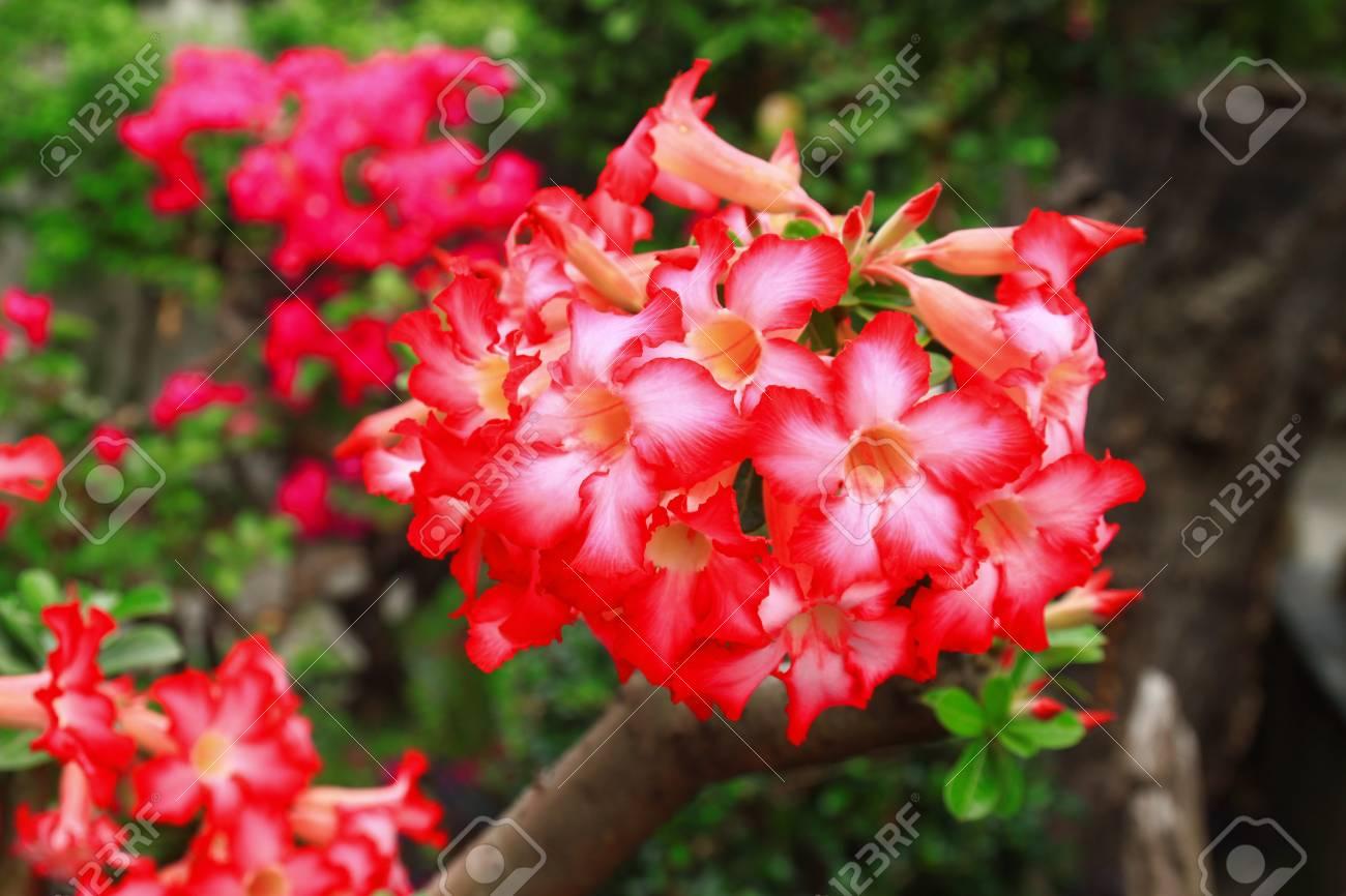 Adenium obesum  Desert Rose; Impala Lily; Mock Azalea Stock Photo - 26158745