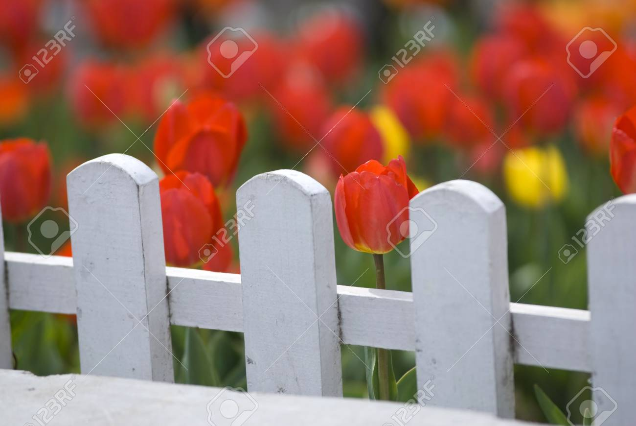 Red Tulips Behind White Fence Stock Photo - 6944623