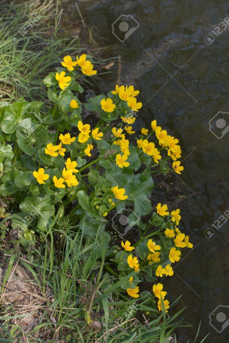 Small yellow wild flowers on pond shore stock photo picture and small yellow wild flowers on pond shore stock photo 3402194 mightylinksfo