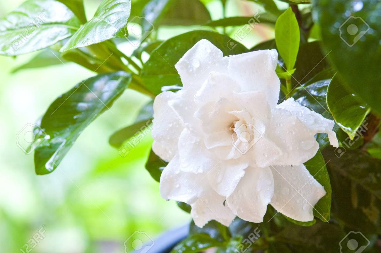 Arabian jasmine jasminum sambac flower on tree stock photo arabian jasmine jasminum sambac flower on tree stock photo 39380045 izmirmasajfo
