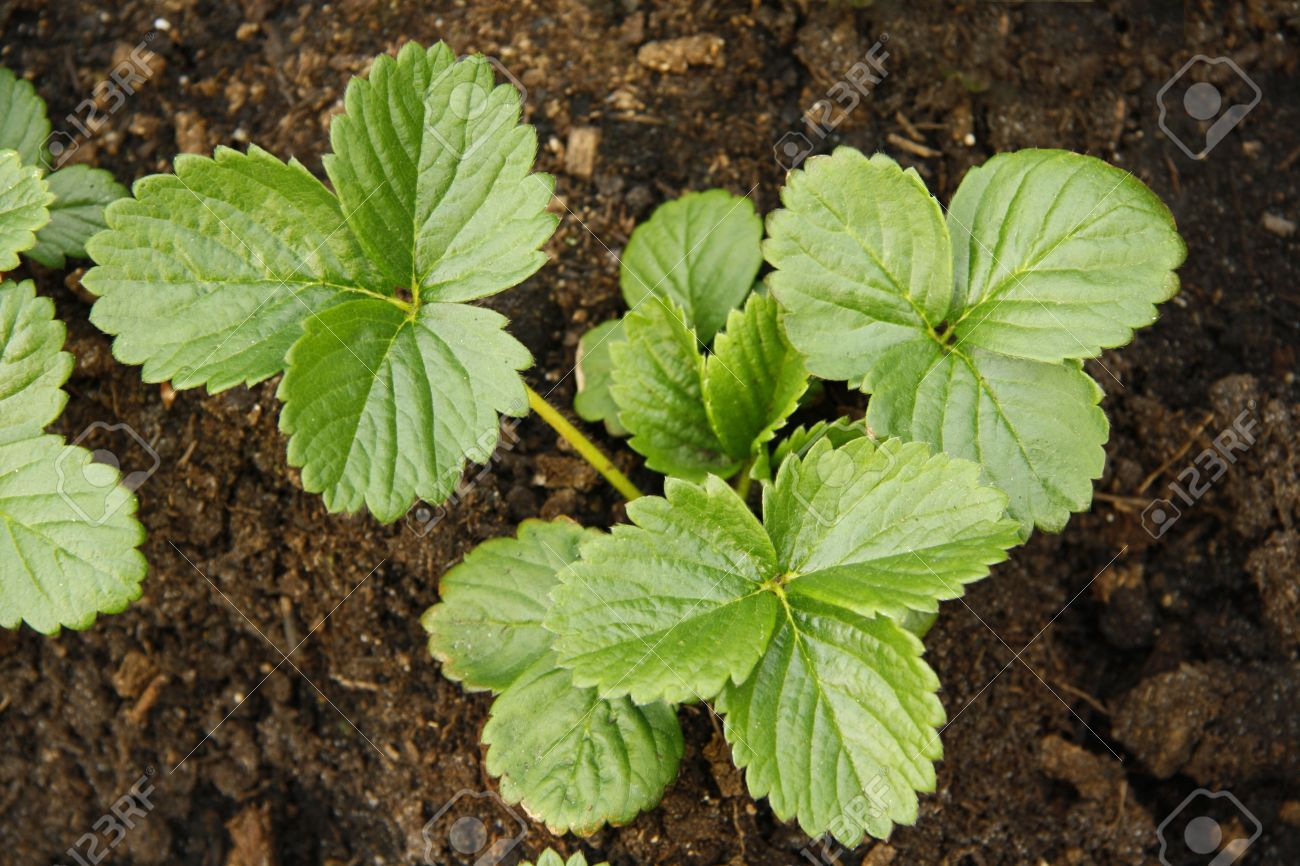 Young Strawberry Plants In Soil Stock Photo, Picture And Royalty ...